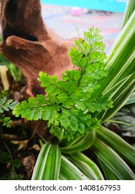 green Davallia mariesii leaves, Rich in flavonoids, alkaloids, phenols