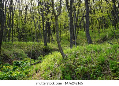 Green deciduous forest on a sunny day. Beautiful fluffy hills covered with dense grass and green deciduous trees. Russia, Vladivostok