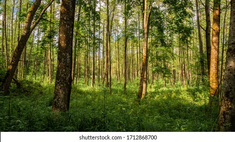 Green deciduous forest in spring
