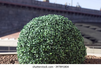 green decorative artificial ball-shaped boxwood shrub on urban street flowerbed in Moscow, Russia