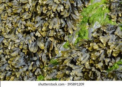 green Devonian seaweed closeup