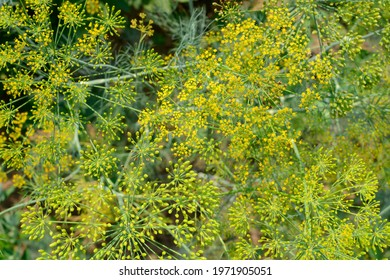 Green dill inflorescences in the garden. Top view.