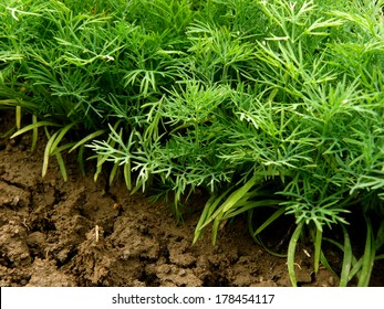 green dill plants growing on bed