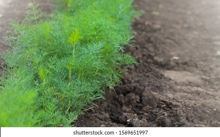 Green dill plants grows from the ground in a vegetable garden. Copy space for text. Dill is grown widely in Eurasia where its leaves and seeds are used as a herb or spice for flavouring food.