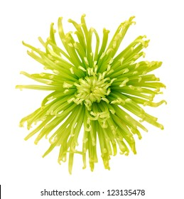 green disbud spider mum flower isolated on white background
