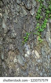 Green Dischidia nummularia ivy on bark of Rain tree or East indian walnut background. (Scientific name Samanea saman).