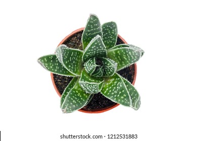 Green dotted succulent plant in a pot, isolated on white background.