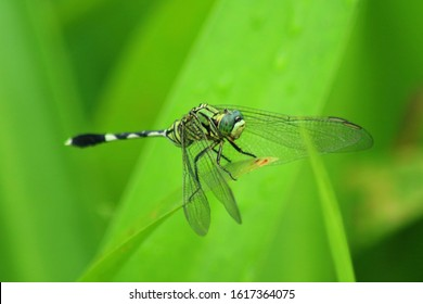Green dragonfly at the tip of the leaf
