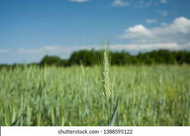 Green ear of triticale in a field, trees and clouds on a blue sky in the background