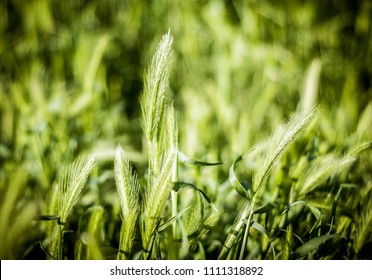 green ears of grain