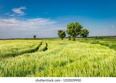 Green ears of grain on field in summer in Poland