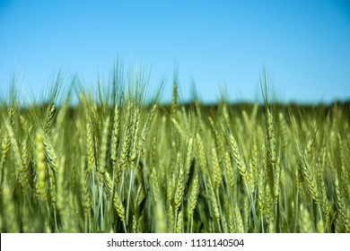 Green ears of triticale