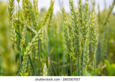 Green ears of wheat in the field