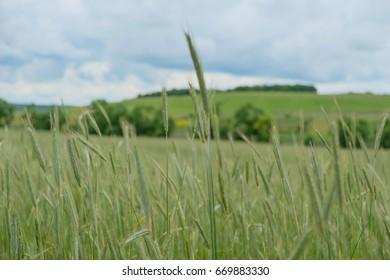 Green ears of wheat in the fields