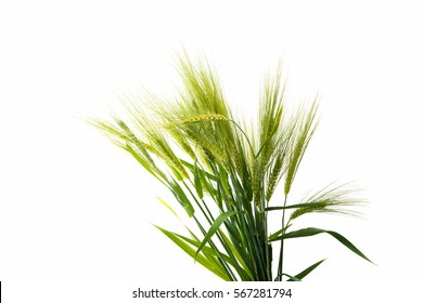 green ears of wheat on a white background