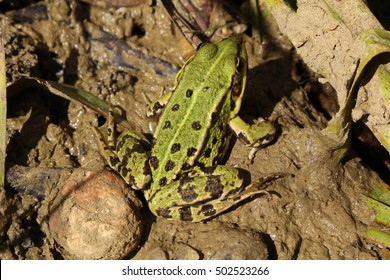 """Green """"Edible Frog"""" (or Common Water Frog, Green Frog) in its habitat in Ulm, Germany. Its Latin name is Pelophylax Esculentus (Syn Rana Esculenta)"""