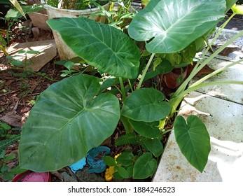 Green elephant ear plant (a common name for Colocasia esculenta) in the garden.