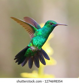 Green Emerald Hummingbird Trinidad