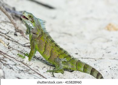 green endemic iguana, Guadeloupe