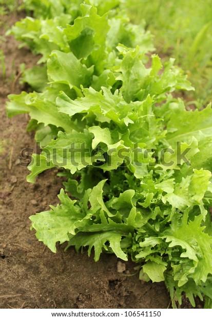 green endive (Cichorium endivia)