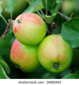 Green English apples, with a red blush, growing on a tree