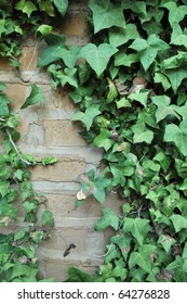Green English Ivy leafs growing all over an adobe brick wall.