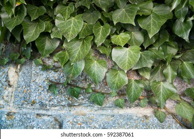 Green english ivy leaves on stone background