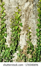 Green English Ivy On The Old Tree