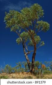 Green eucalypt tree on a blue sky