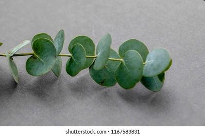 Green eucalyptus on gray background