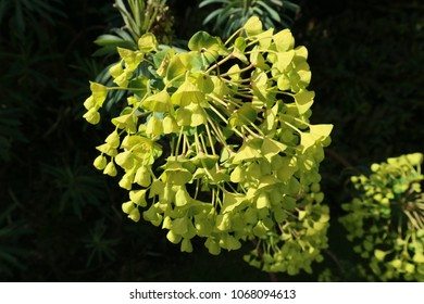Green Euphorbia flowers on dark soft focus background.