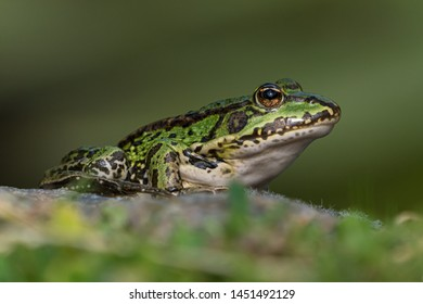 Green european frog on a rock in beautiful light on land facing right seen from low angle