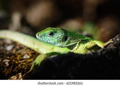 Green european lizard in nature