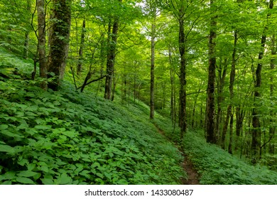 Green Everywhere in Summer Forest in the Smokies