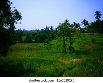 The Green Expanse Of Rice Fields At Ringdikit Village, Buleleng, North Bali, Indonesia
