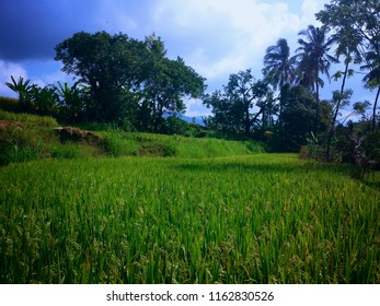 Green Expanse Of Rice Fields And The Trees Around Ringdikit Village, Buleleng, North Bali, Indonesia