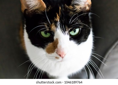 Green Eyed Calico Cat