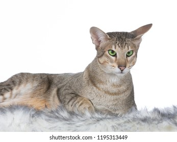 Green eyed cat, image taken in a studio with white background. Cat isolated on white.