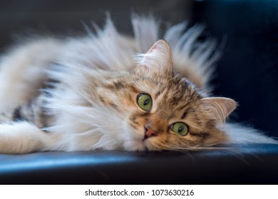 A green eyed fluffy cat sits against a black background