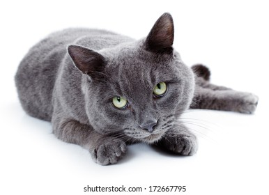 Green eyed Maltese cat also known as the British Blue on a white background