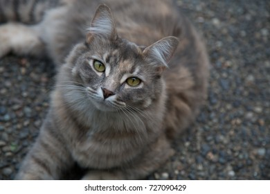 Green eyed Russian siberian cat looking at camera shallow depth of fieed