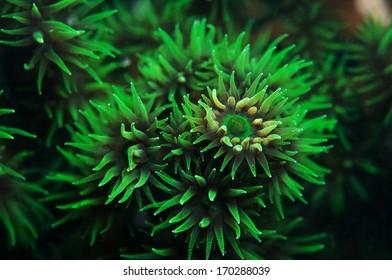 Green fan coral in cebu, Philippines.