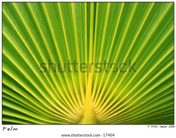 Green fan palm leaf