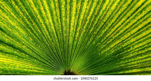 Green fan palm leaf for Nature background texture