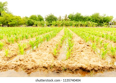 Green farm with corn plant on country side , Thailand