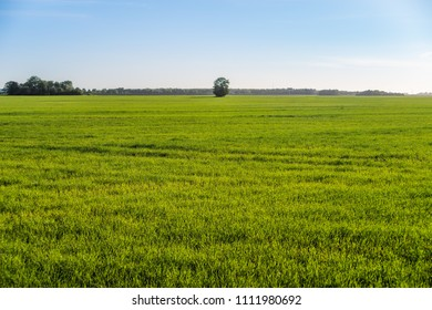 Green farm field with lone tree in the middle and clean blue sky