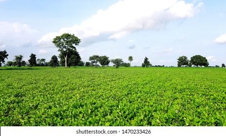 Green farm landscape, Indian soyabean field.