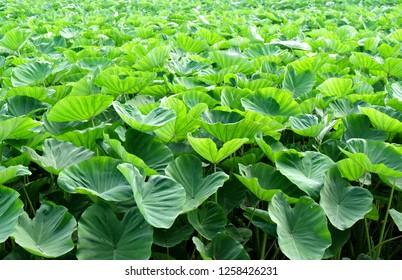The green farm of Taro (Colocasia esculenta var. esculenta)