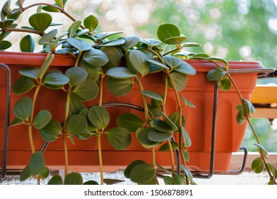 Green fat plant in the pot