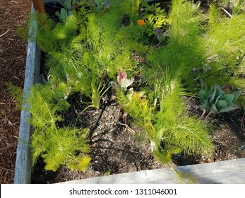 green fennel in garden with dirt or soil